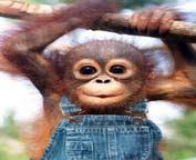 Majmunce u tregerima